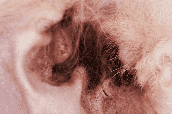 A Buildup of Earwax Can Cause Your Dogs Ears to Smell