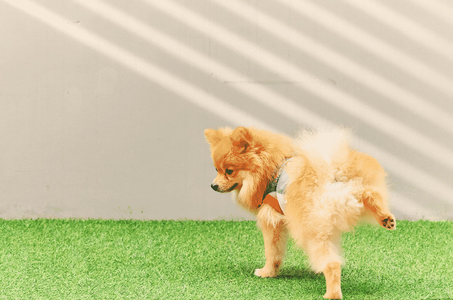 Dog Peeing on Artificial Grass Pad