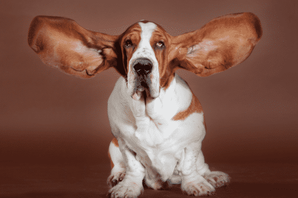 Help! My Dogs Ears Smell Like Cheese