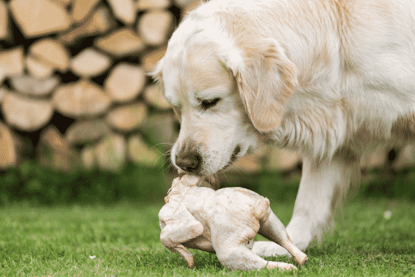 Dogs Can Eat Raw Chicken