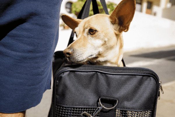 Carrying a Brown Dog with Alert Ears in Soft Sided Carrier