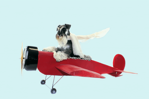 Flying Ace! Grey and White Schnauzer wearing White Scarf inside a Red Toy Airplane.