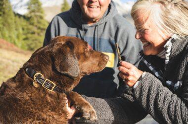chocolate lab with older couple, dog arthritis