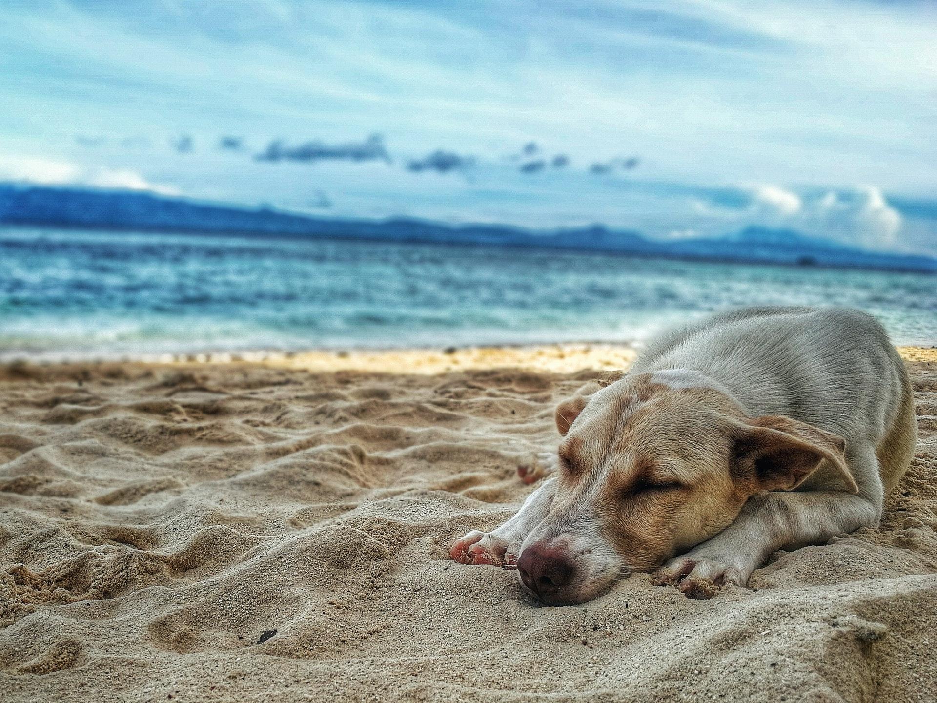dog napping on the beach at sunset, dog arthritis