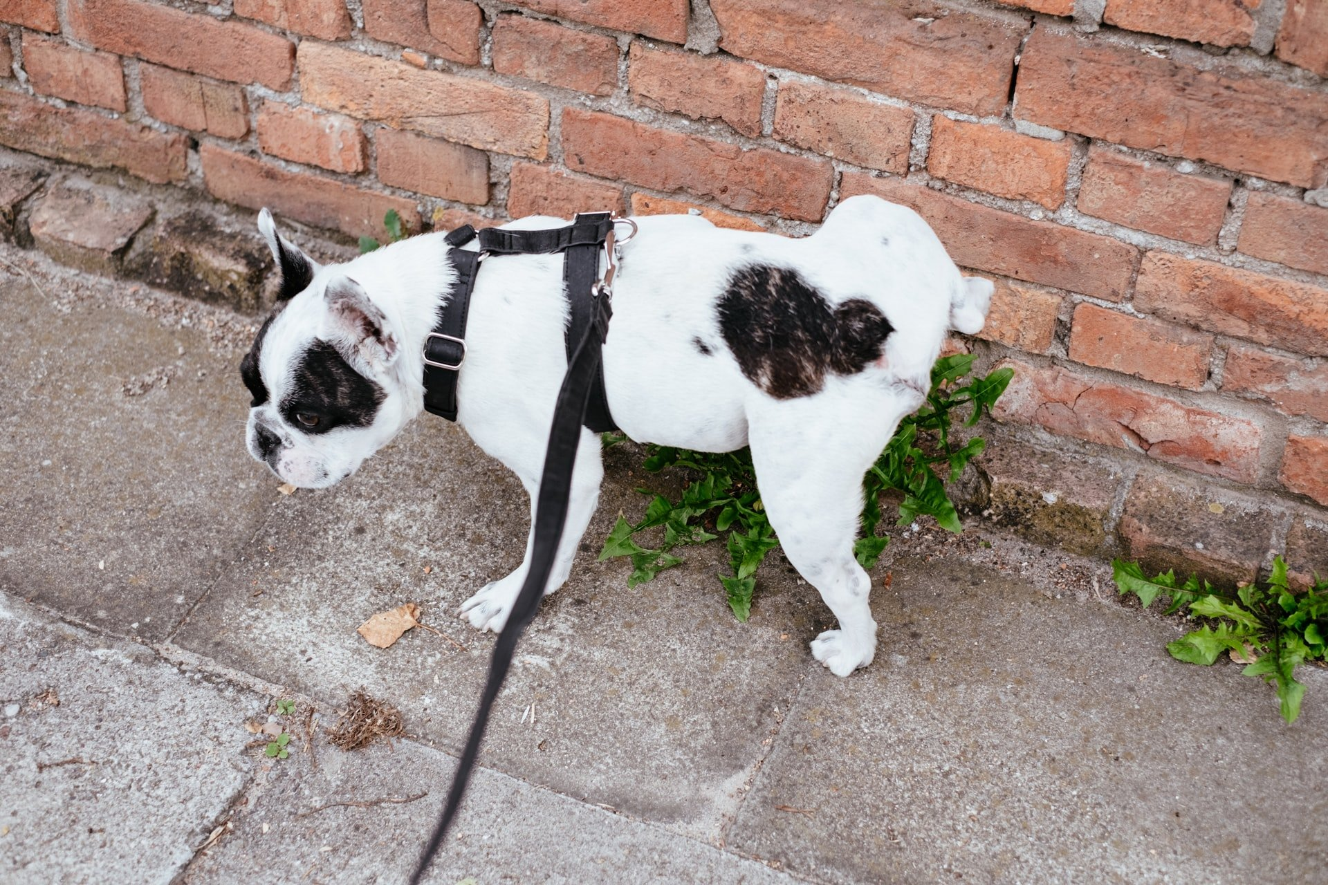 dog peeing on a brick wall