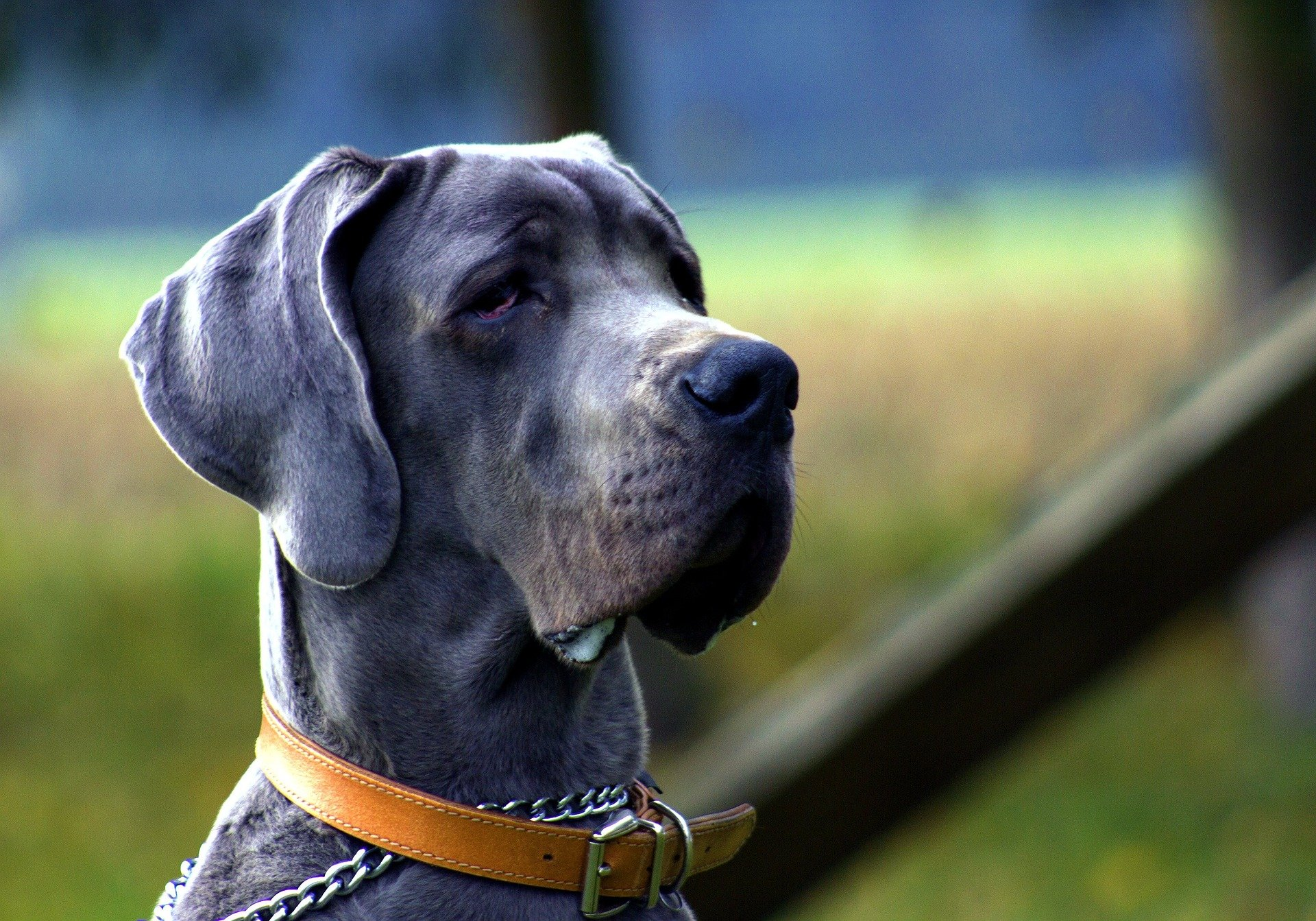 great dane looking into the distance