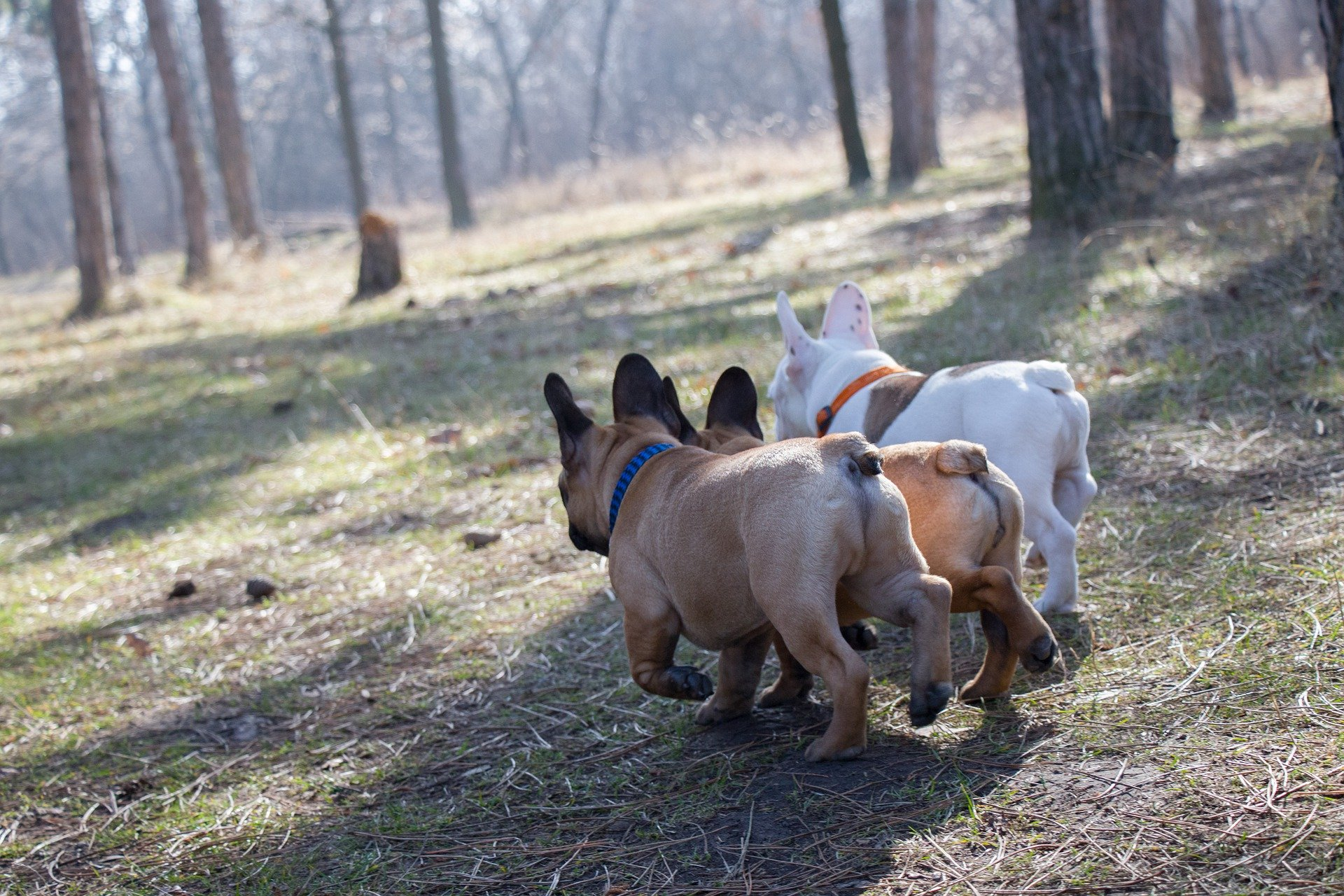 group of french bulldogs walking together