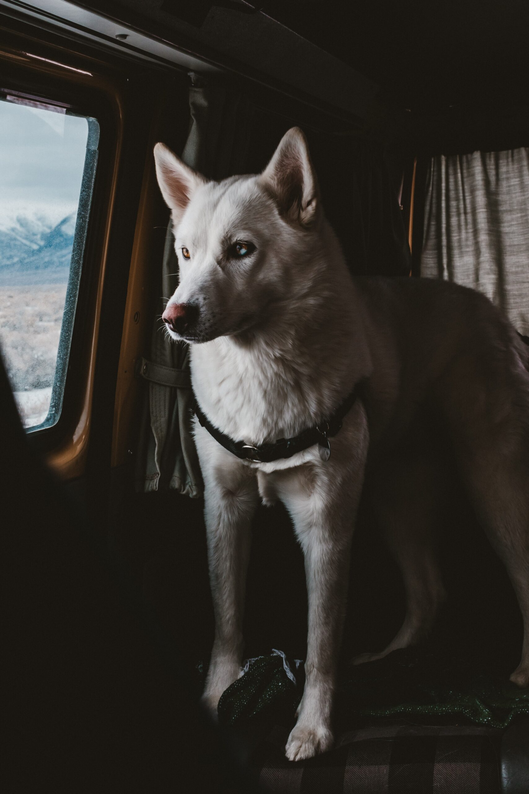 Dog Standing in Backseat of the Window of a Car