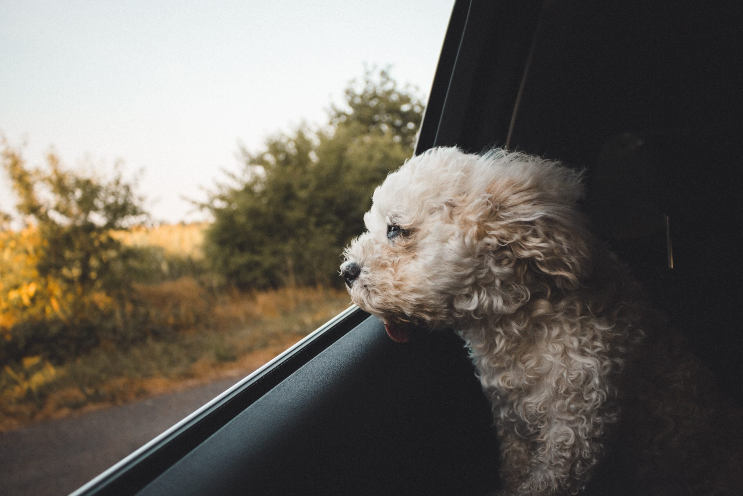 Pet Traveling in the Car