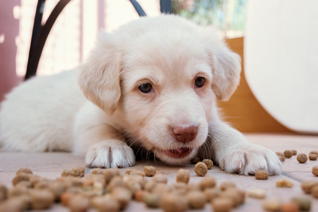 White labrador pupply lying in spilled food.