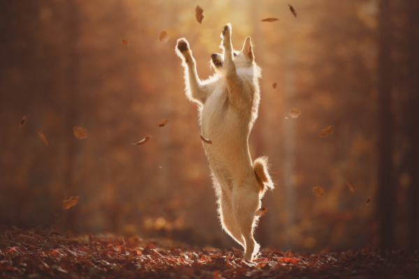 Jumping Dog. Landing Poorly can injure your dog's foot