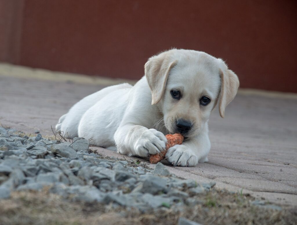 yellow lab puppy The Best Food for a Labrador puppy is Puppy Food.  Puppies have different nutrition needs than adults