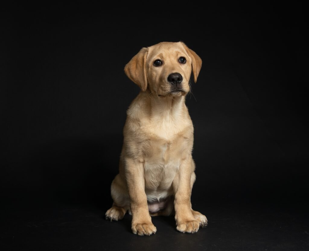 older yellow lab puppy. best food for your labrador puppy may not be the best food for your neightbor's puppy.