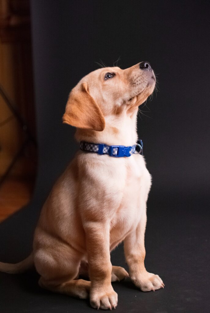yellow lab puppy To determine what is the best food to feed YOUR labrador retriever, talk to your vet