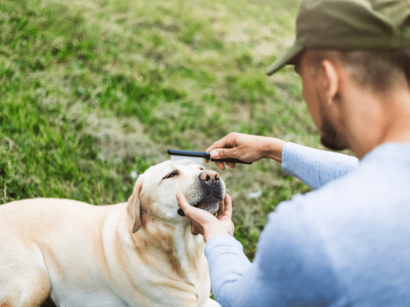 Man grooming his pet lab;s snout