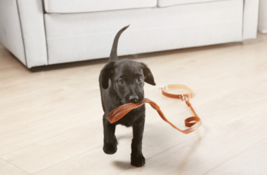 Labrador Puppy Walking across a room With a Collar in its mouth