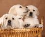 How to Take Care of a Labrador Puppy