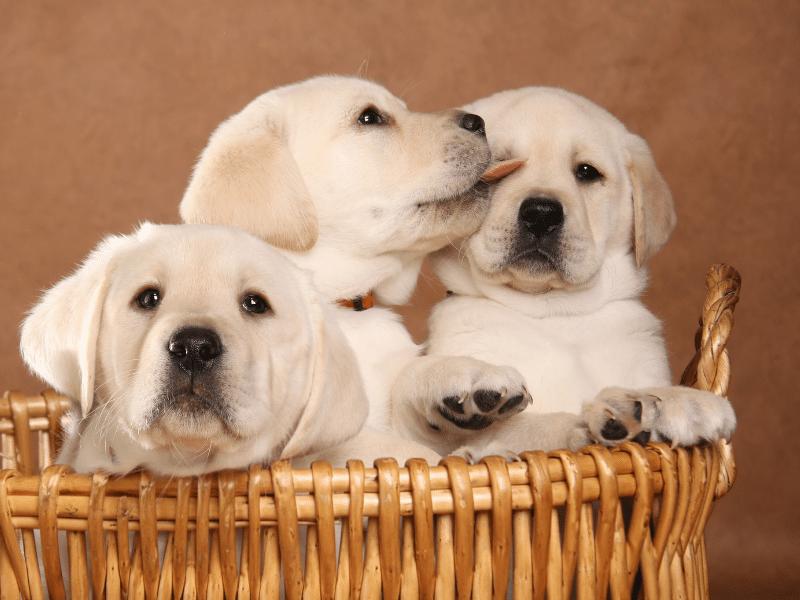 Basket of Labrador Puppies