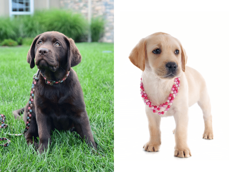 2 Labrador Puppies with different sized collars.  A properly fitting collar is snug but note tight.