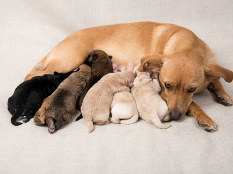 Puppies nursing on mother dog.
