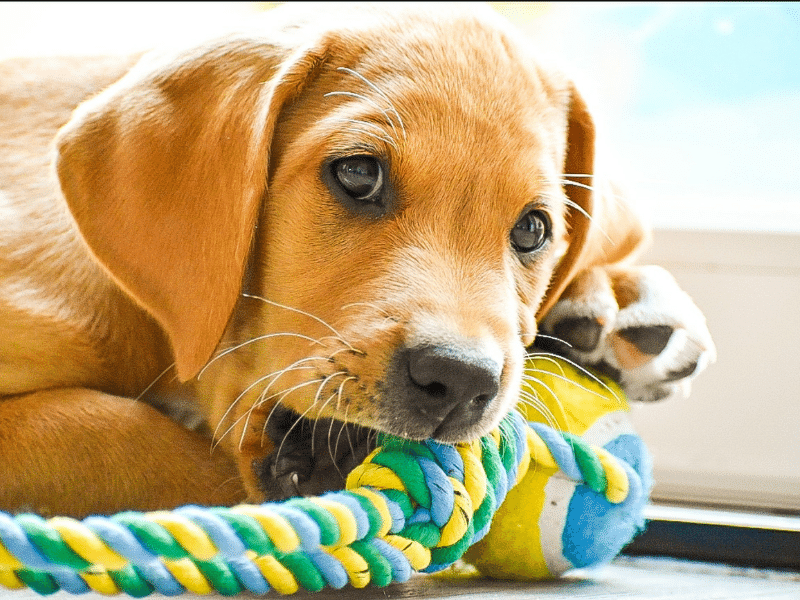Lab puppy chewing on rope toy.  If your lab bites, redirect it to a toy.